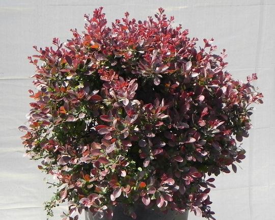 Berberis Thunbergii Atropurpurea Crimson Pygmy Crimson Ruby® ...