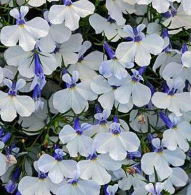 Early Springs White Lobelia Features Snow White Flowers Lavender Eyes