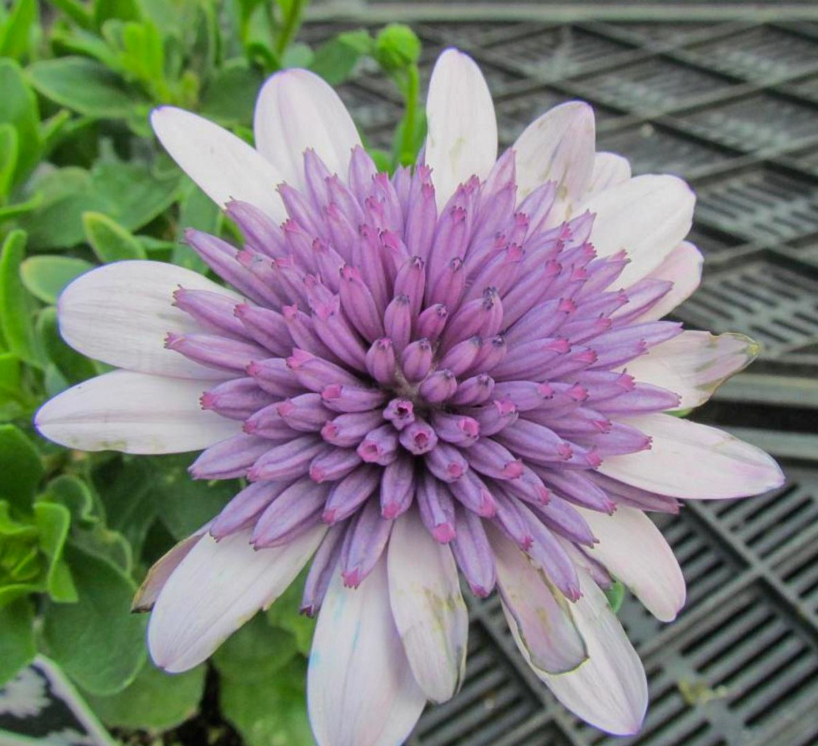 The 4d Violet Ice Osteospermum Or African Daisy Has A Double