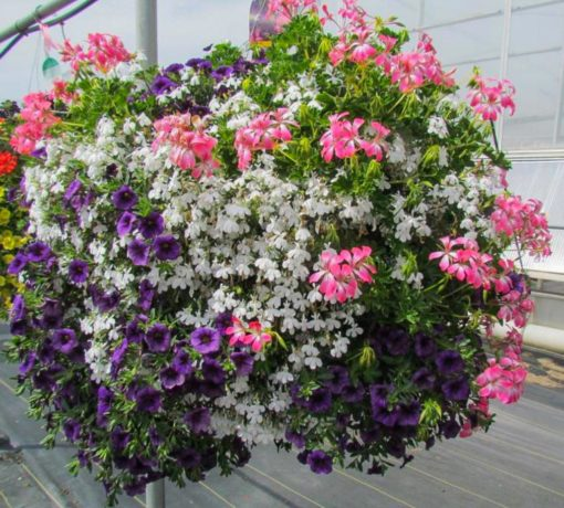 Hanging Basket Mix Sun