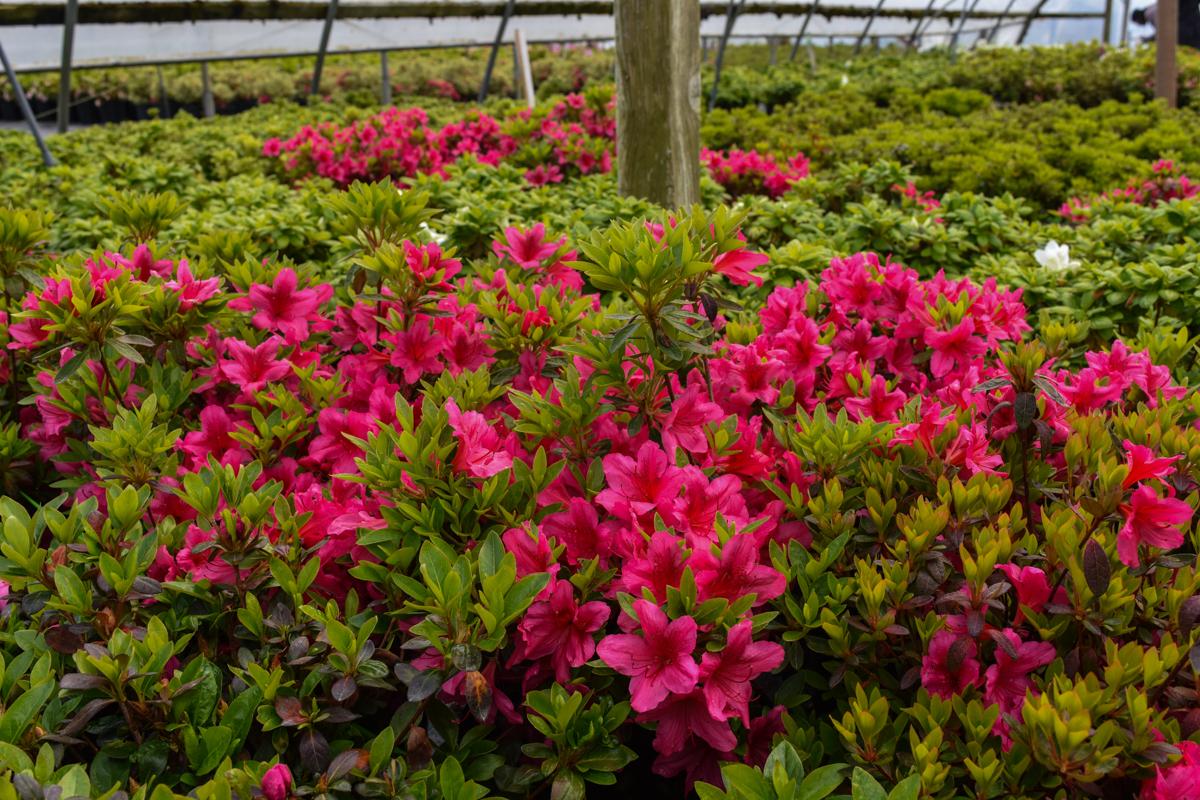 Girard\'s Pink Azalea produces rose-pink blooms, glossy dark green ...
