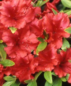 Scarlet Azalea