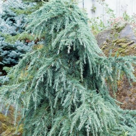 Glacial blue cedar