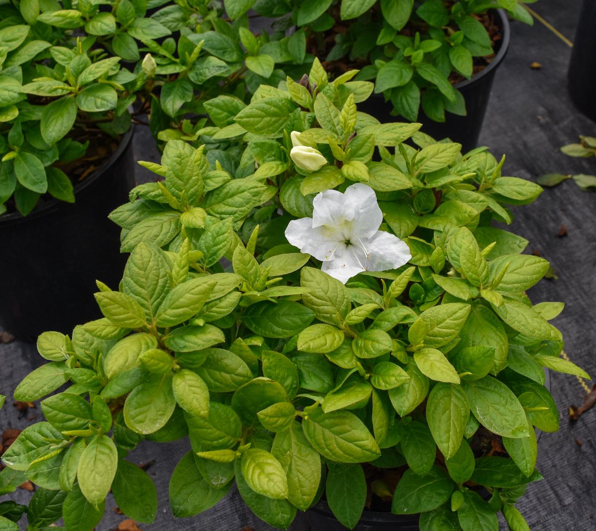 Helen Close Azalea Dense Rounded Shrub Green Leaves White Flowers