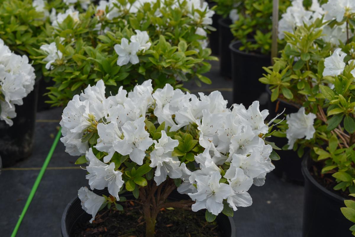 Hino white azalea compact azalea green leaves single white blooms hino white azalea mightylinksfo
