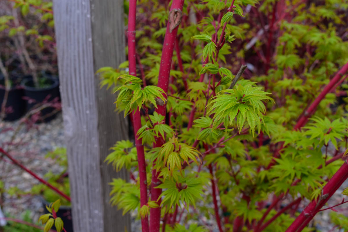 Coral bark japanese maple small tree coral bark light for Small japanese tree