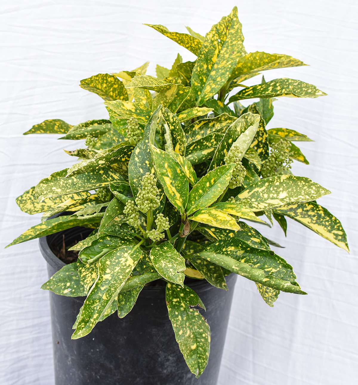 Gold Dust Plant Green And Gold House Plant on green and purple plant, strawberry begonia plant, green with yellow flowers ground cover, coprosma mirror plant, hardy banana plant, black and gold plant, foam flower plant, twin leaf plant, malawi gold plant, green leafy plants, eastern smooth beardtongue plant, fly poison plant, coprosma marble queen plant, green cordyline plants, coleonema sunset gold plant, green and white grass plant, green plants with flowers, sundrops plant, florida gold plant, emerald and gold plant,