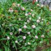 Variegated Winter Daphne Daphne odora 'Aureo-marginata'