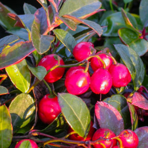 Ornamental Berries