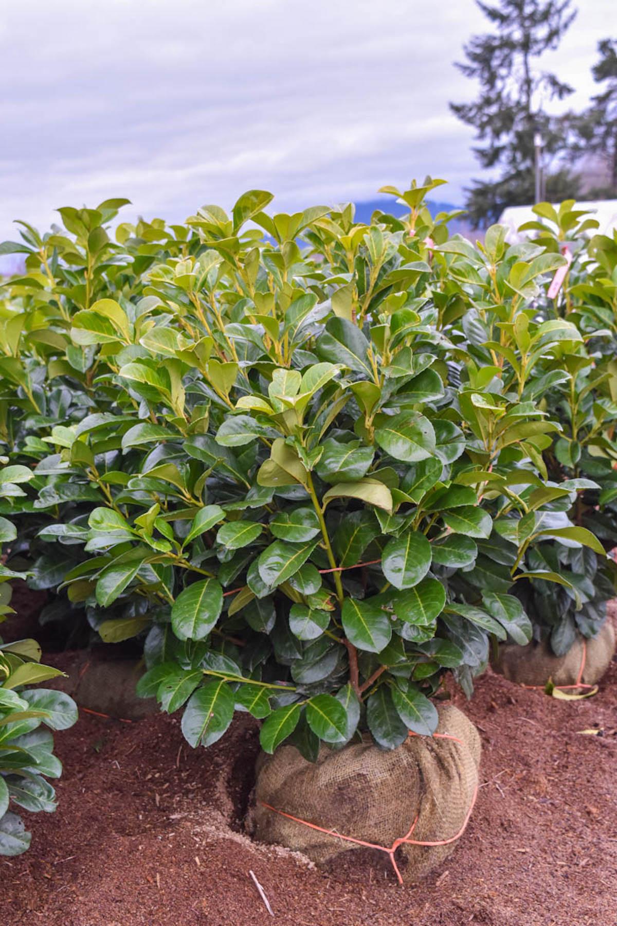 cherry laurel etna 39 plants4home. Black Bedroom Furniture Sets. Home Design Ideas
