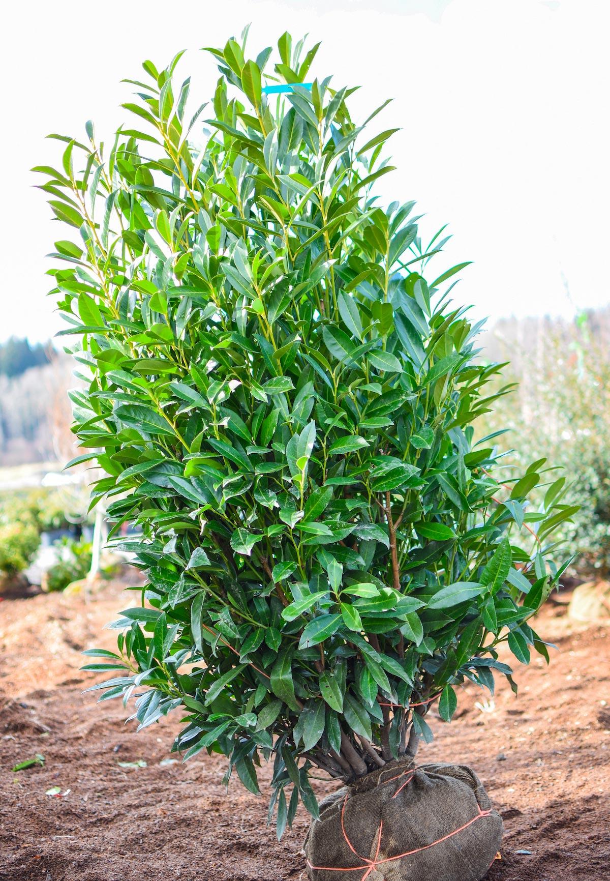 Schipka Cherry Laurel Plants4home