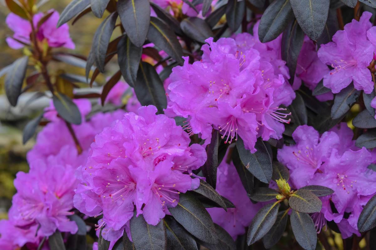 Цветы рододендрон купить цена, цветов оптом