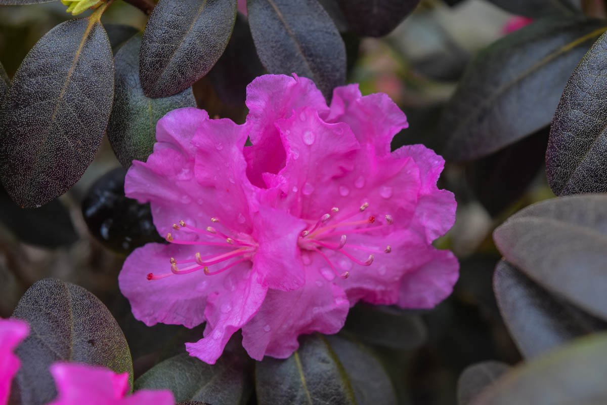 Pjm Natalie S Pink Rhododendron Plants4home