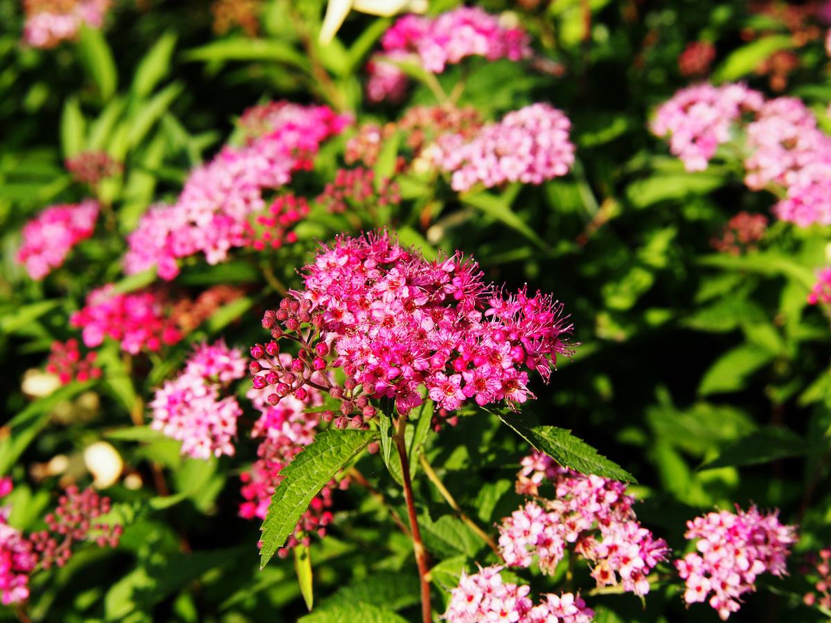 Spiraea Anthony Waterer Plants4home