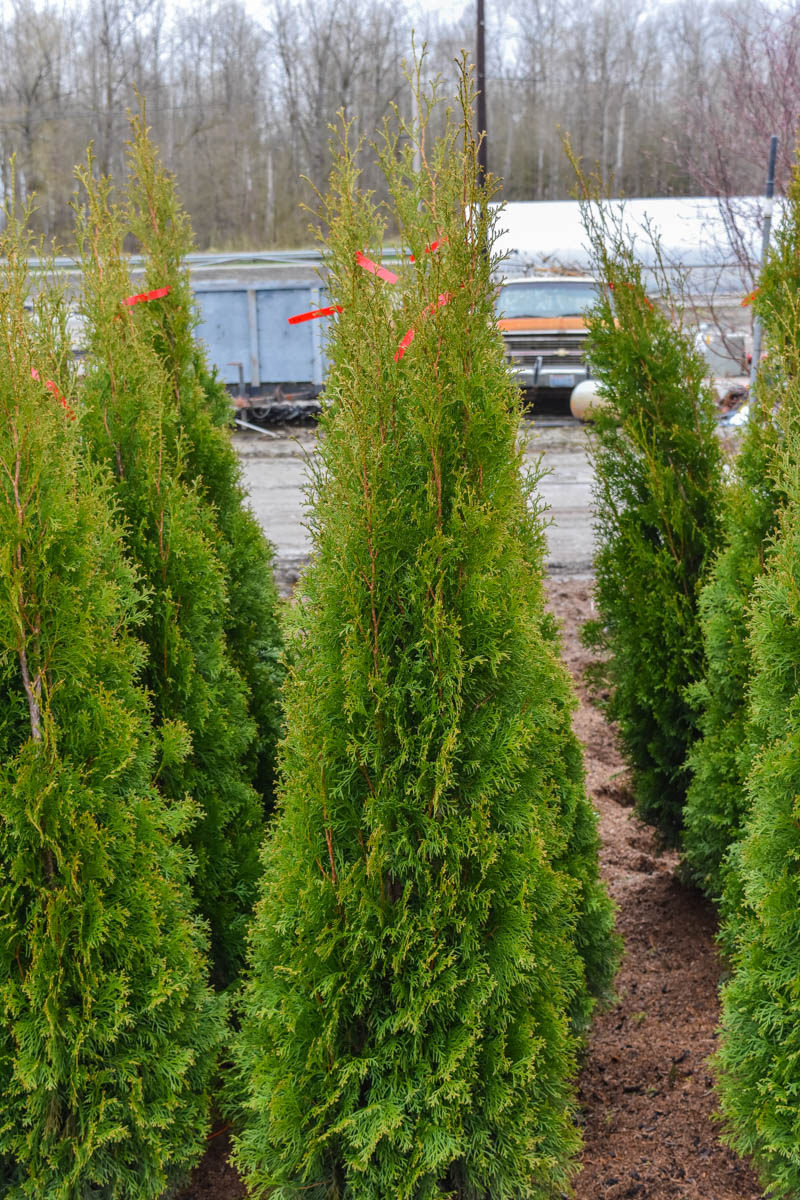 american arborvitae 39 smaragd 39 plants4home. Black Bedroom Furniture Sets. Home Design Ideas