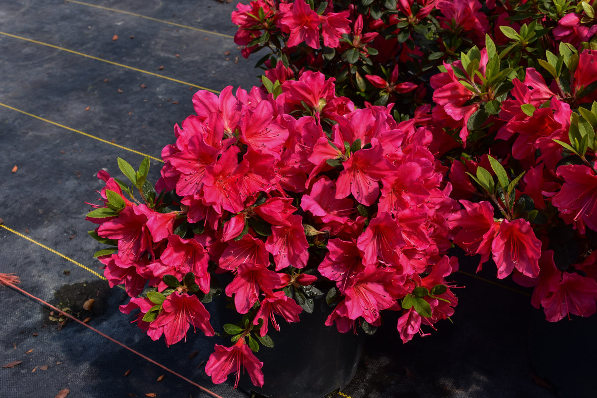 Nico Red Azalea upright habit dark glossy green foliage, hot pink ...