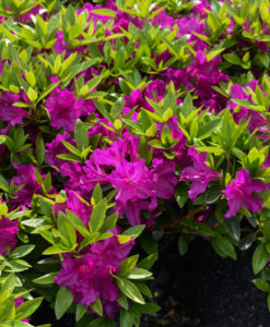 Purple Splendor Azalea 1 gallon shrub