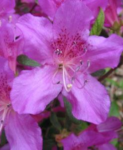 Orchid Azalea