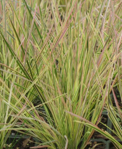 Deschampsia Northern Lights Ornamental Hair Grass