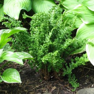 Semi-evergreen Ferns