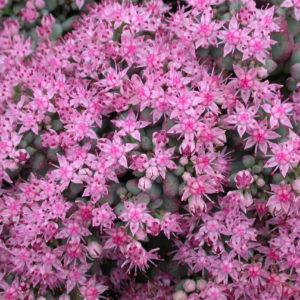 Groundcover Perennials