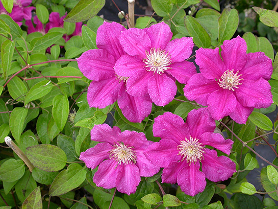 ernest markham clematis plants4home. Black Bedroom Furniture Sets. Home Design Ideas