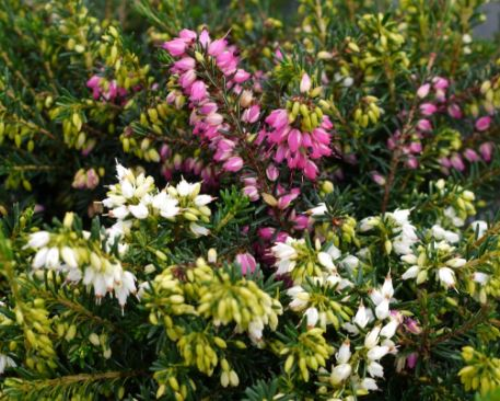 Pink and white heather plants4home mightylinksfo