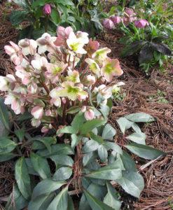 hellebore pink frost for sale online