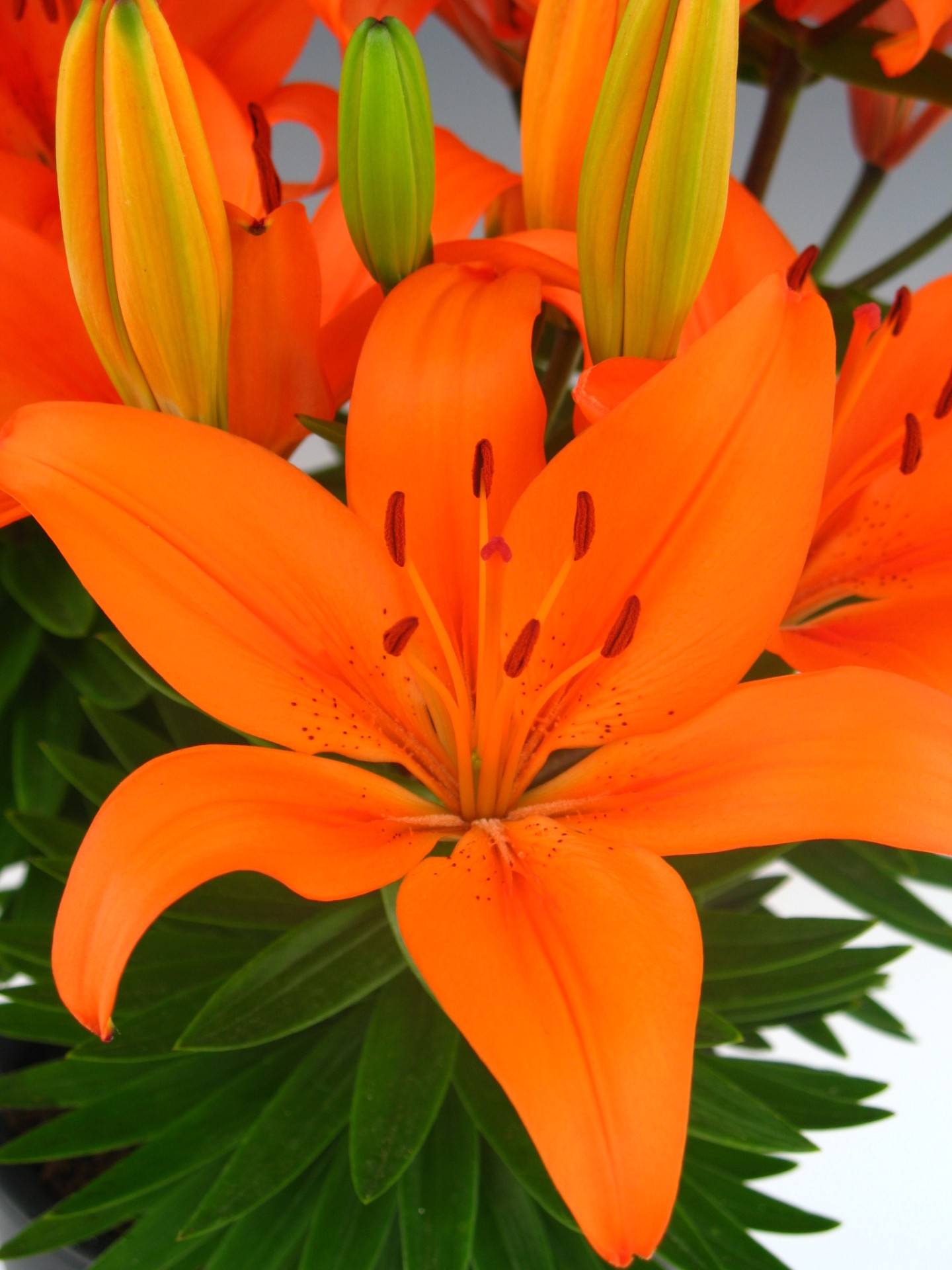 Orange matrix asiatic lily plants4home izmirmasajfo