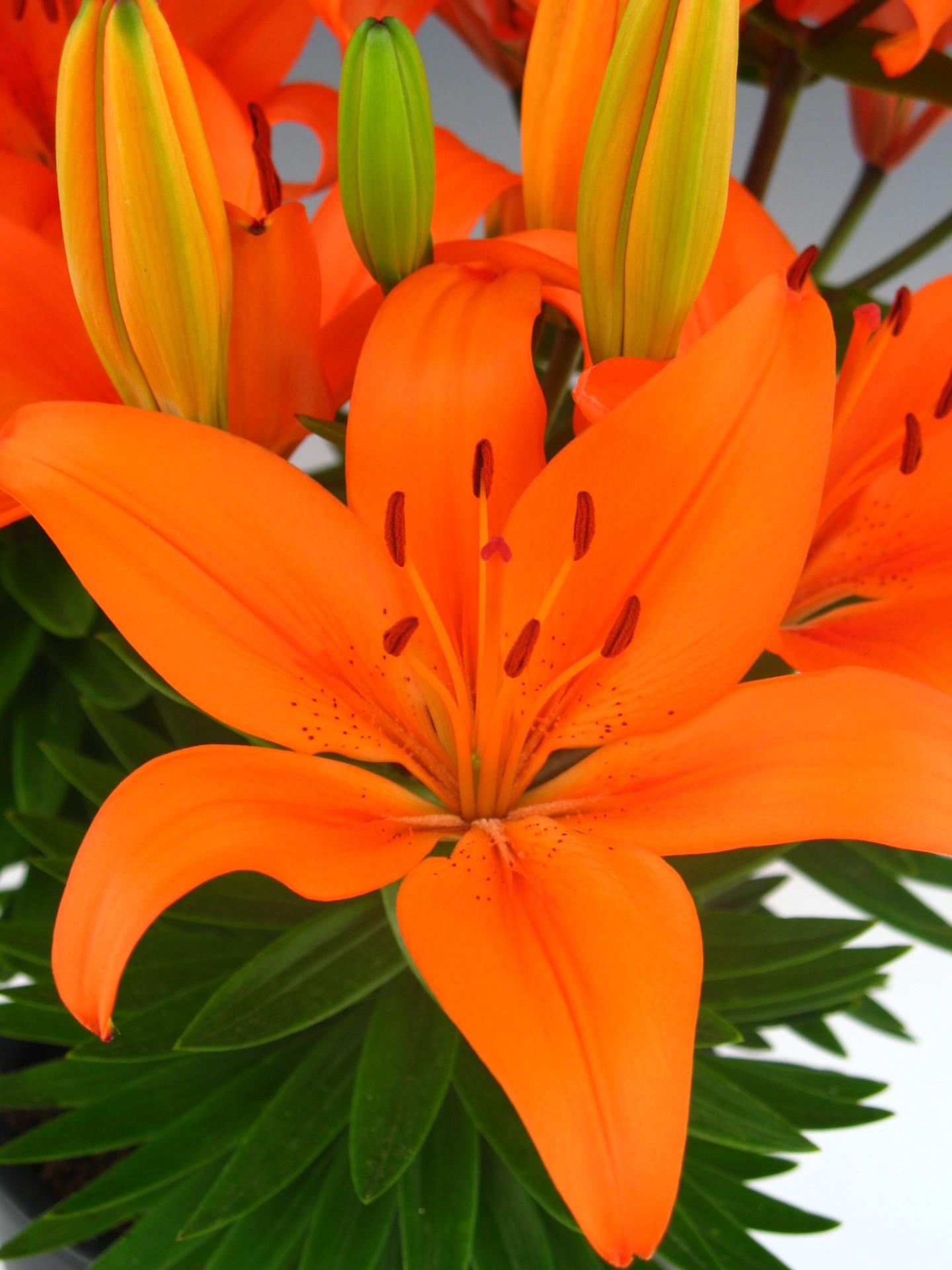 Orange Matrix Asiatic Lily Plants4home