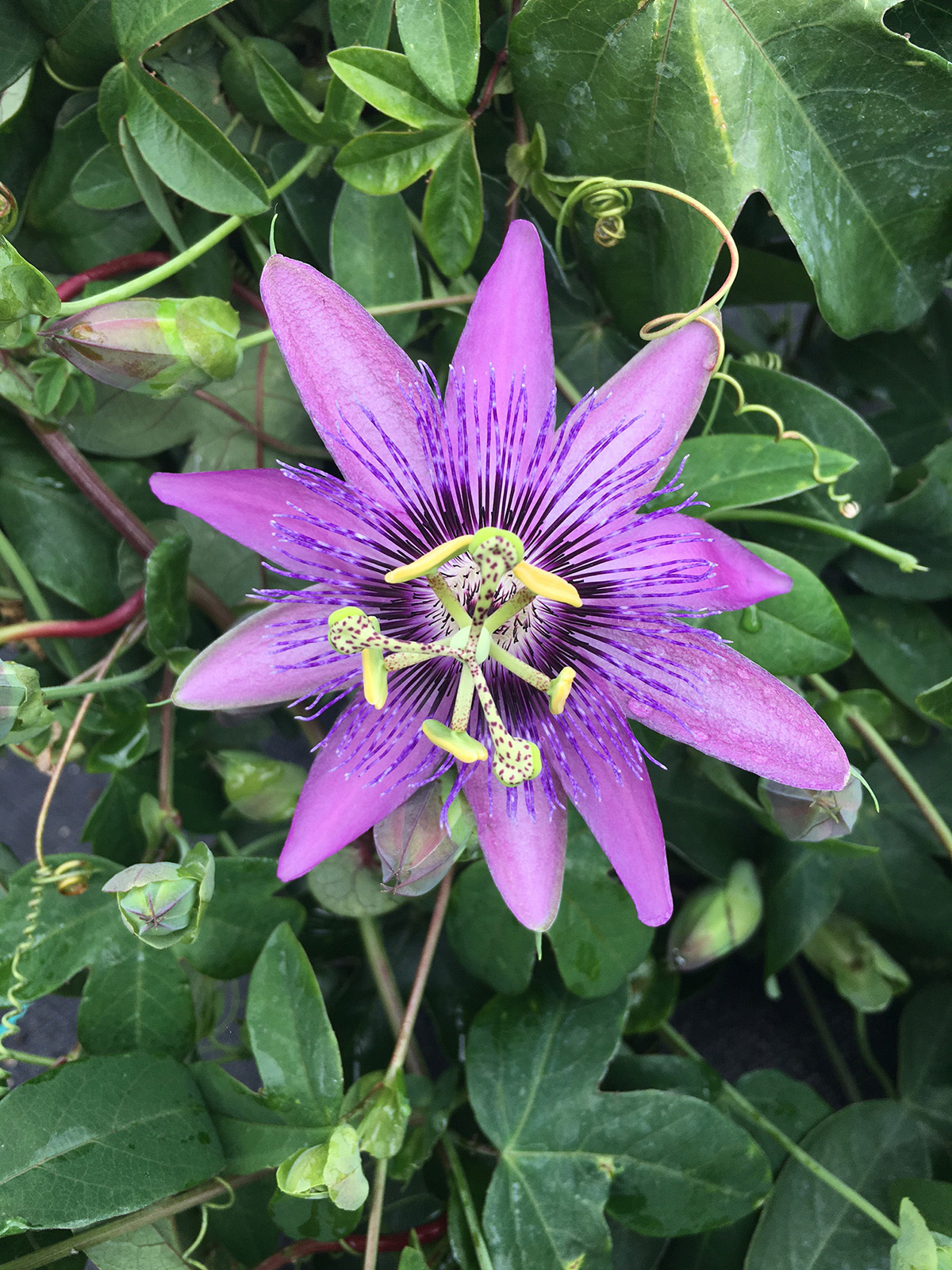 Amethyst Jewel Passion Flower Plants4home