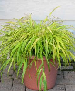 Hakonechloa Archives Plants4home