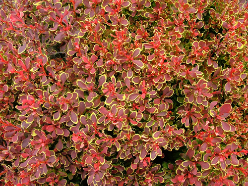 berberis-thunbergii-goldenruby-closer-up-lcnselections-mariazampini-gpp