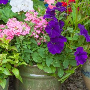 Annuals for Containers