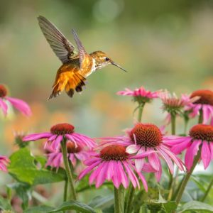 Hummingbird-attracting Annuals