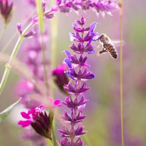 Bee-attracting Annuals