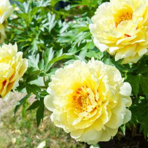 Drought-tolerant Perennials