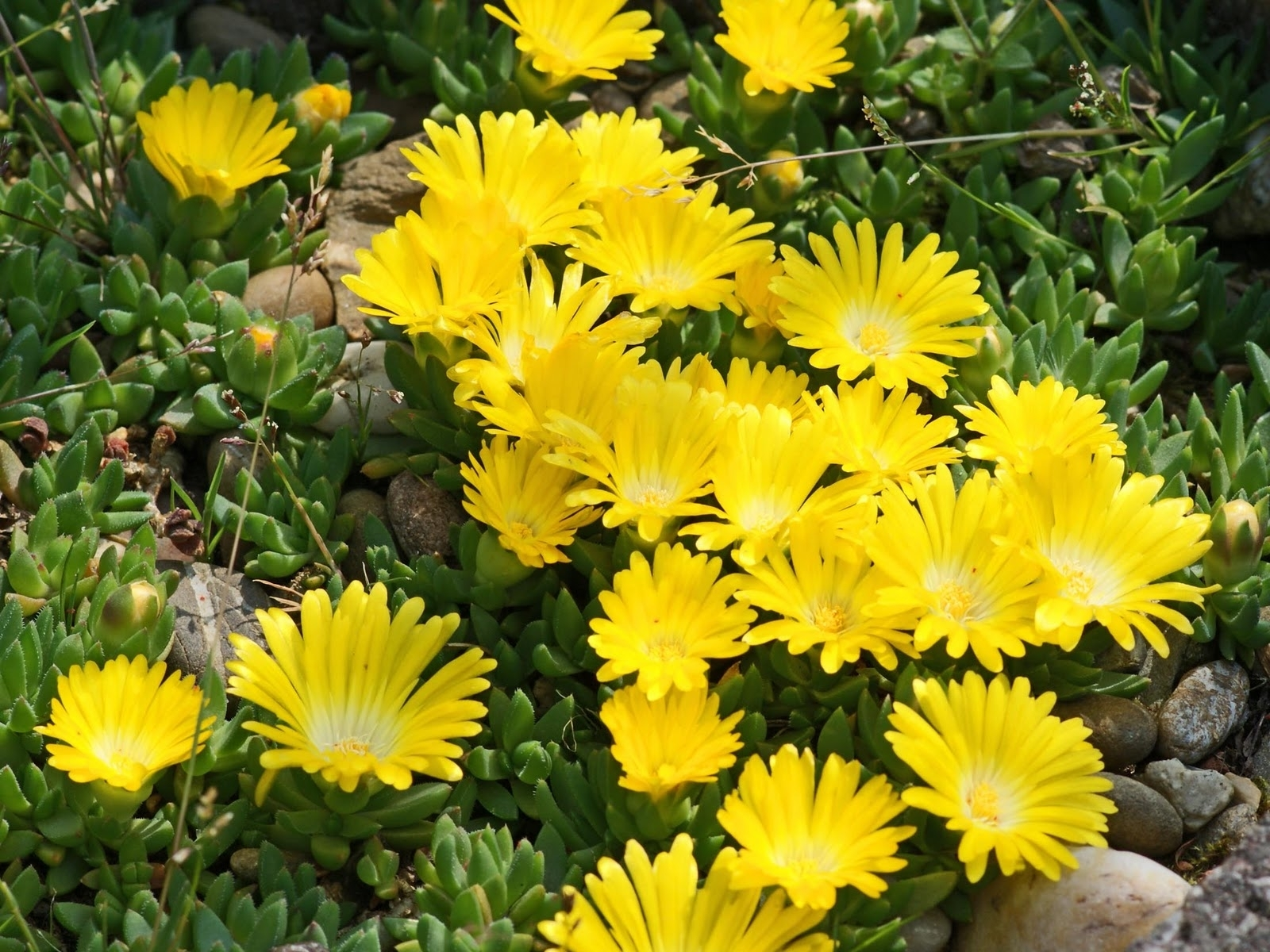 Delosperma Congesta Ice Plant 4 Pack Plants4home