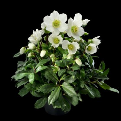 Winter blooming white flowered hellebore Jacob perennial for garden