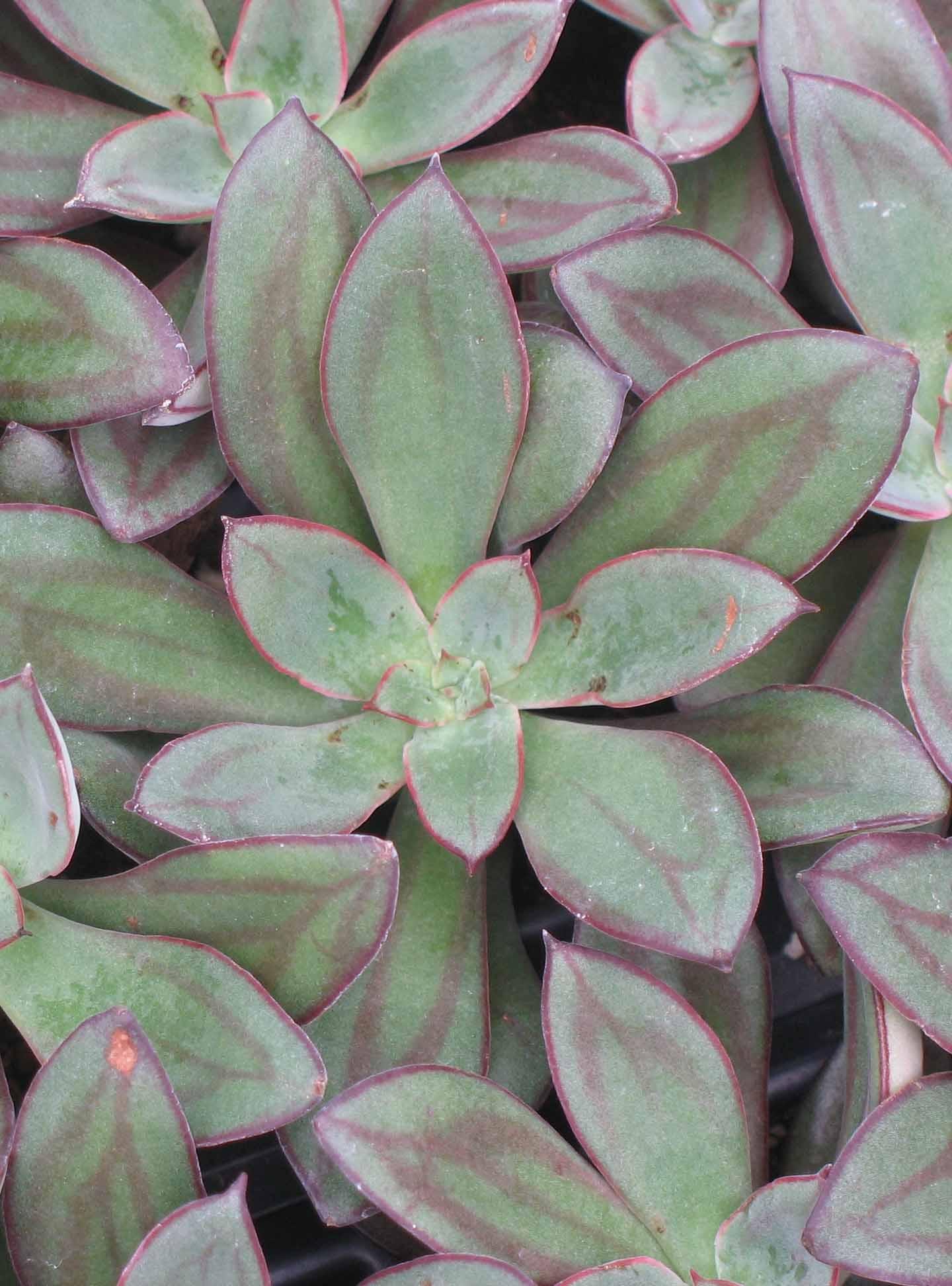Echeveria Nodulosa Succulent Plants4home