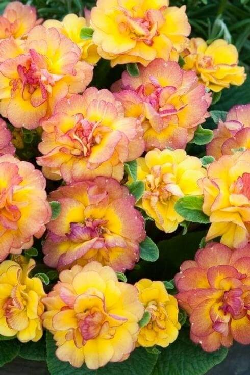 Primula BELARINA 'Nectarine'