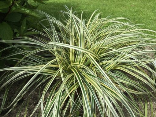 Variegated Carex