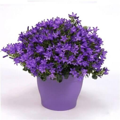 Campanula port. 'Ambella Intense Purple'(Dalmation Bellflower)