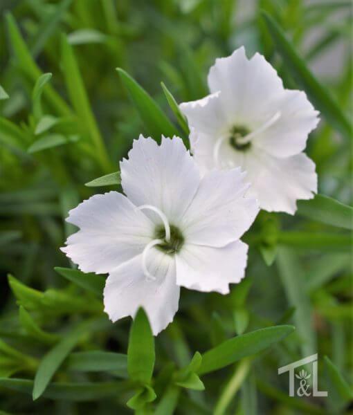 Dianthus 'Kahori Annabelle'