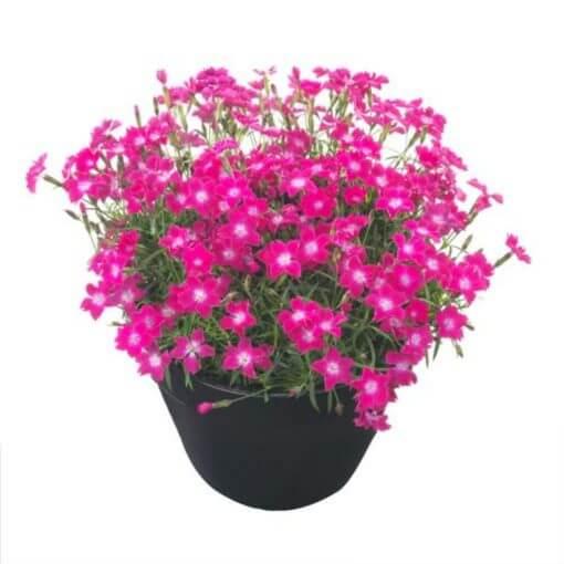 Dianthus 'Kahori Scarlet'