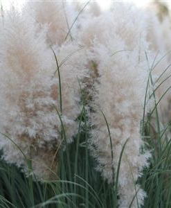 pampas grass for sale