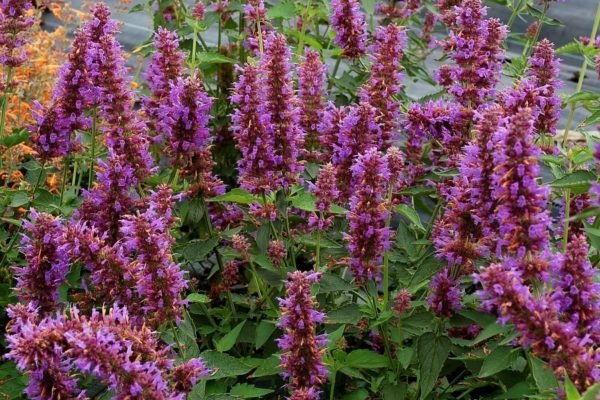 agastache for sale