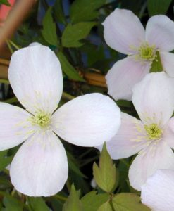 clematis rubens for sale online