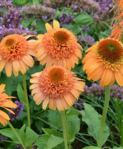 cantaloupe coneflower for sale online