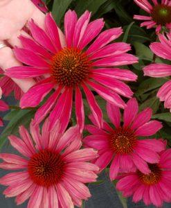 echinacea kismet raspberry for sale